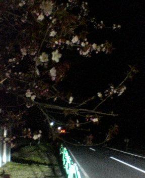 静内桜並木