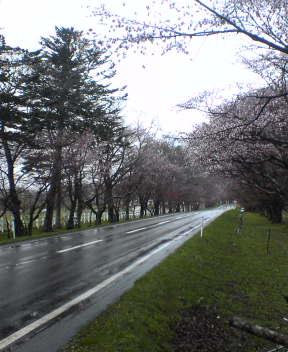 浦河 西舎 桜並木
