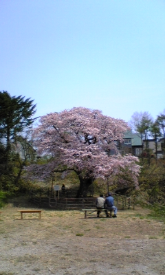 ようやく桜の季節です