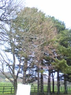 静内桜並木3